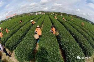 化州平定:这里有个广东最大的茶叶基地之一